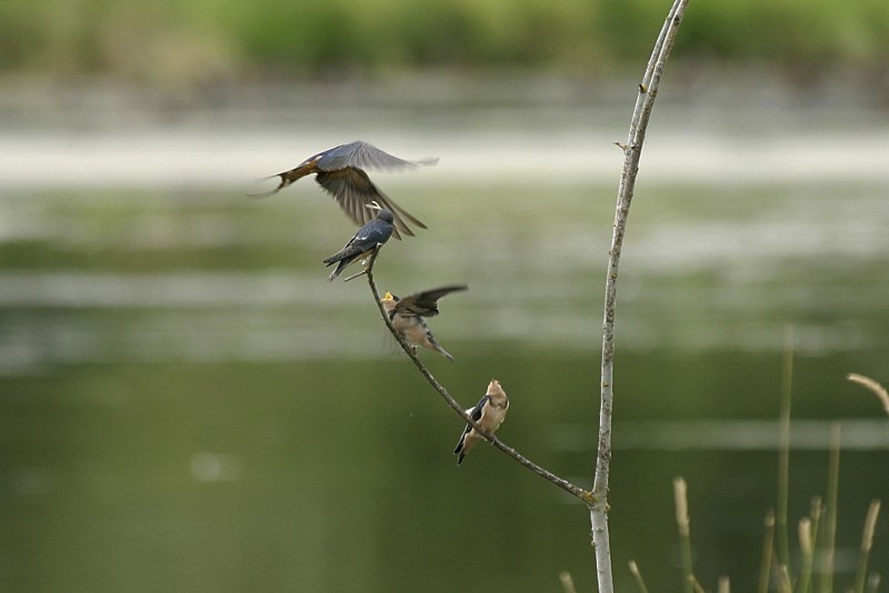 Barn Swallow Hirúndo rústica