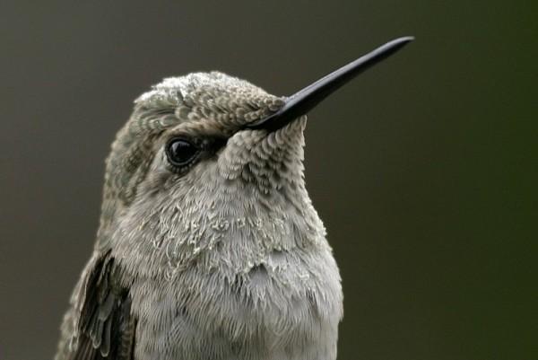 Anna's Hummingbird Calýpte ánna