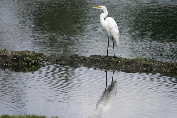 Casmeródius álbus Great Egret