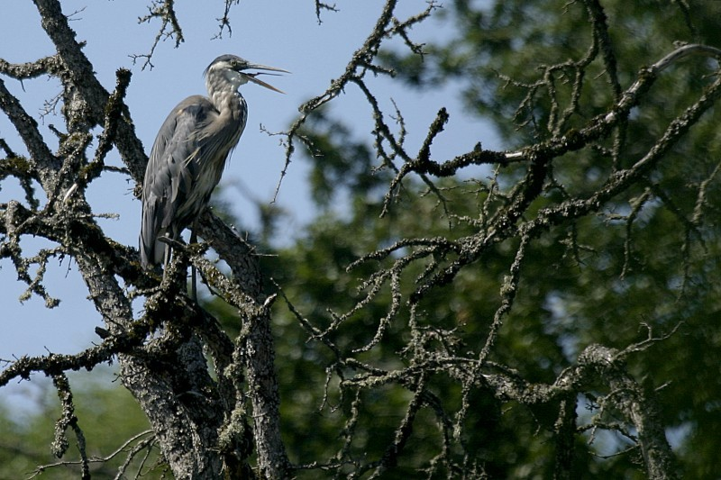 Great Blue Heron (Árdea heródias)