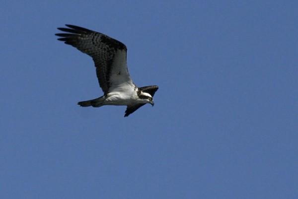 Pandíon haliáetus Osprey