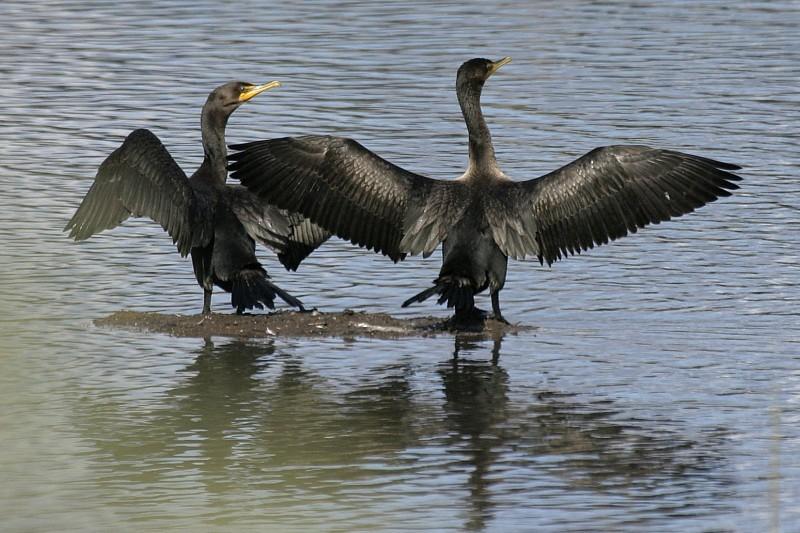 Double-Crested Cormorant Pair Phalacrócorax penici