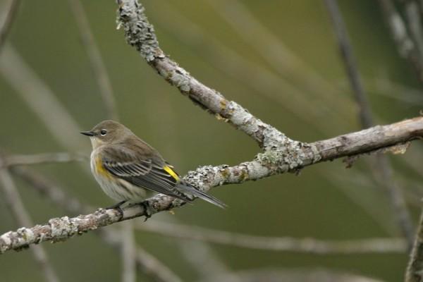 Yellow-Rumped Warbler Dendroíca coronáta