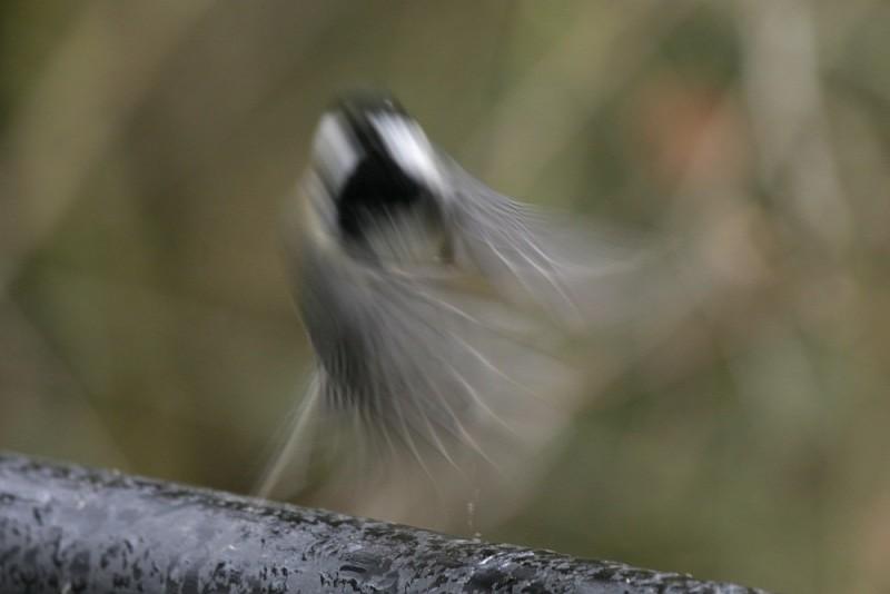 Chickadee Flight