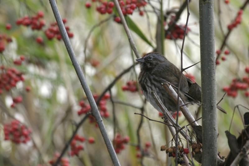 Song Sparrow Melospíza melódia