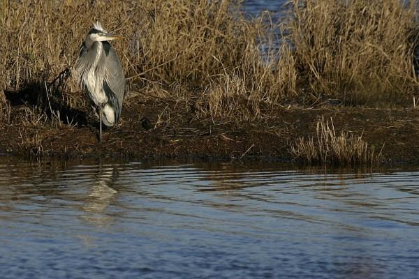 Great Blue Heron Árdea heródias