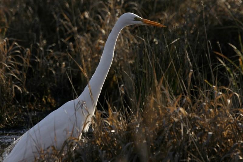 Great Egret (Casmeródius álbus)