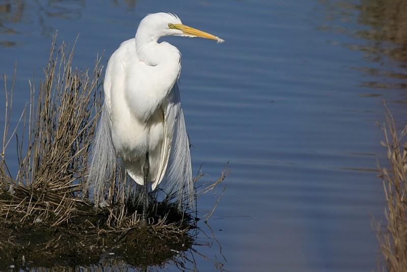 Great Egret Casmeródius álbus