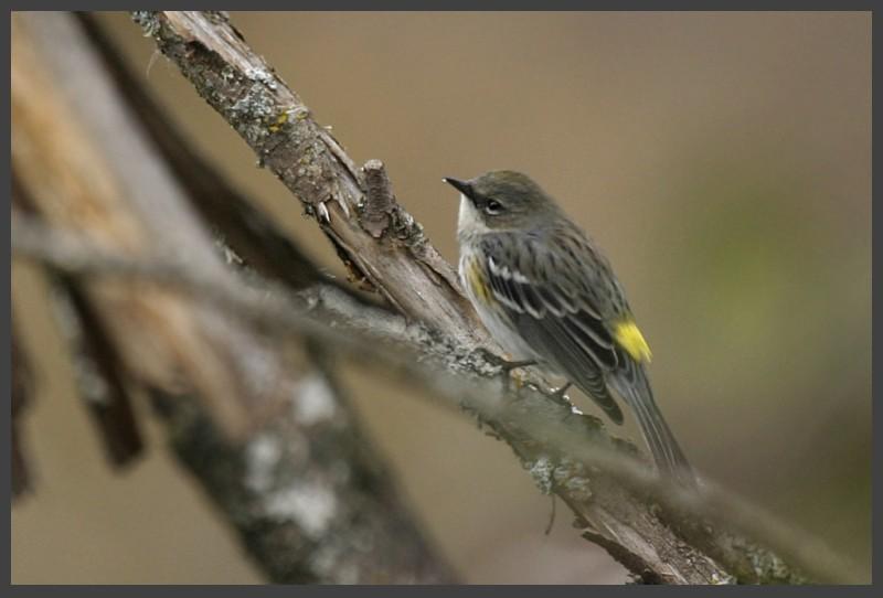 Male Yellow-Rumped Warbler Dendroíca coronáta
