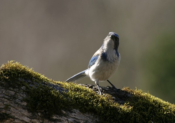Blue Jay Aphelócoma coeruléscens