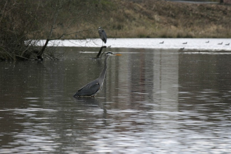 Great Blue Heron Árdea heródias