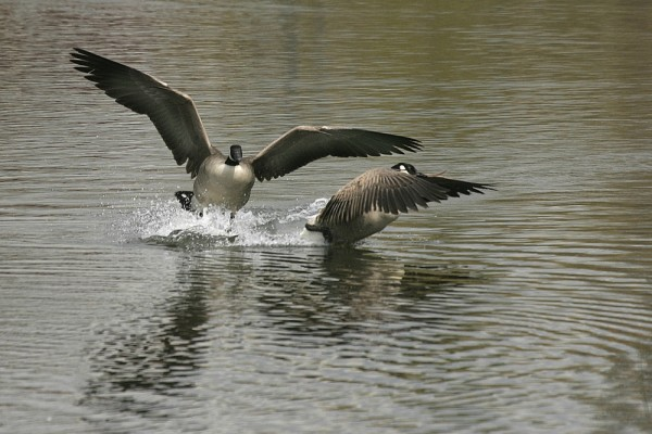 Canada Goose Bránta canadénsis