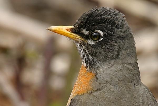 American robin Túrdus migratórius