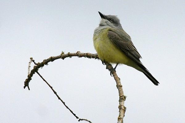 Western Kingbird Tyránnus verticális