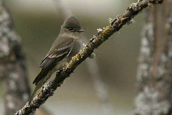 Willow Flycatcher Empídonax traíllii