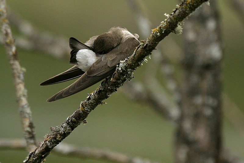 Immature Tree Swallow Tachycinéta bícolor