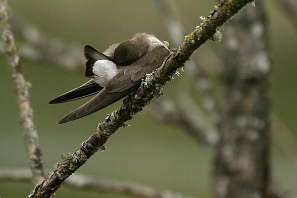 Immature Tree Swallow Tachycinéta bícolor