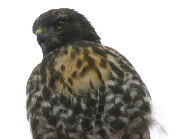 Red-Tail Hawk Búteo jamaicénsis