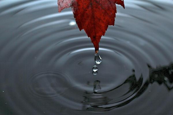 water drop maple leaf