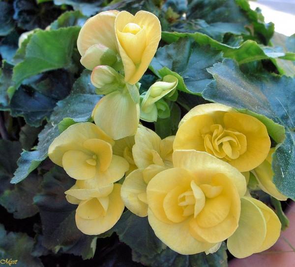 Begonia gialla