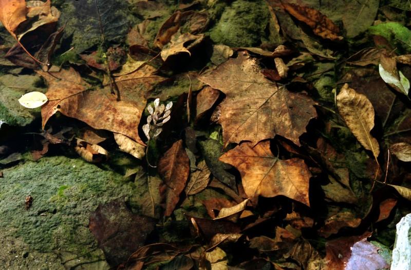 leaves in the scioto river