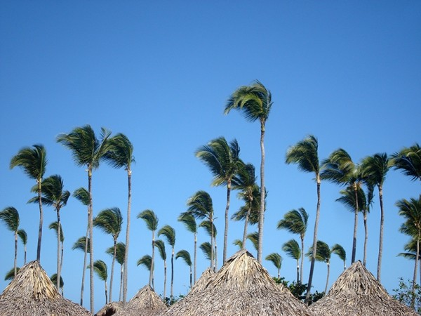 palm trees in punta cana