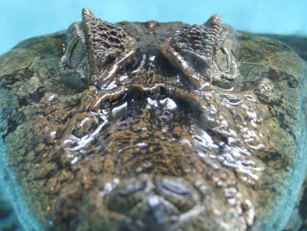 crocodile alligator zoo animal