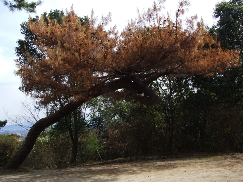 arshiyama tree kyoto japan