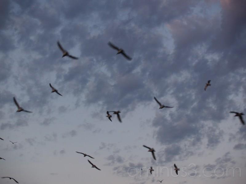Seagulls outside Black Dog Lake