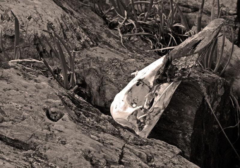 Crâne de canard