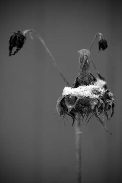 Tournesol d'hiver - Winter sunflower
