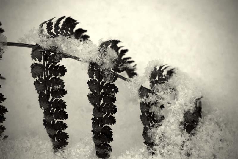 Neige et fougère - Snow and fern