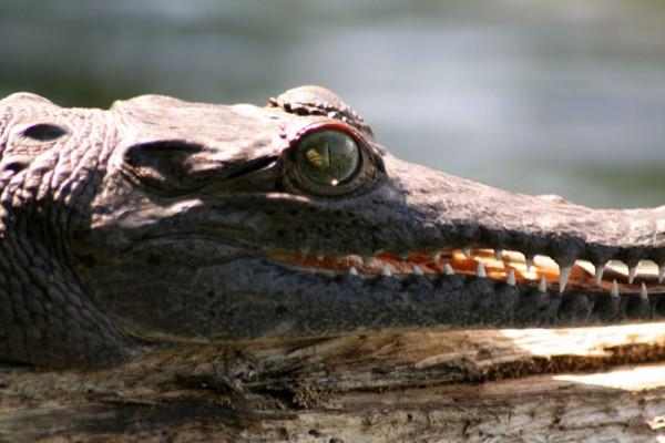 Crocodile on Gatun Lake (2)