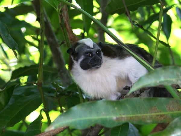 Tamarin monkey - Singe Tamarin