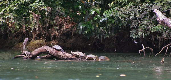 Turtles' family - À la queu leu leu...
