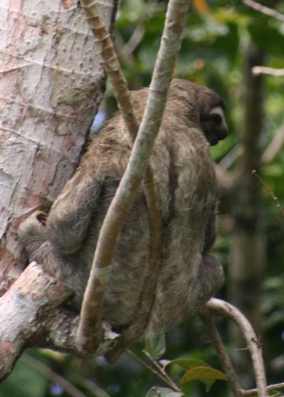 3-toed Sloth - Paresseux à 3 doigts