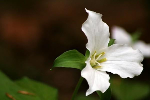 White trillium - trille blanc