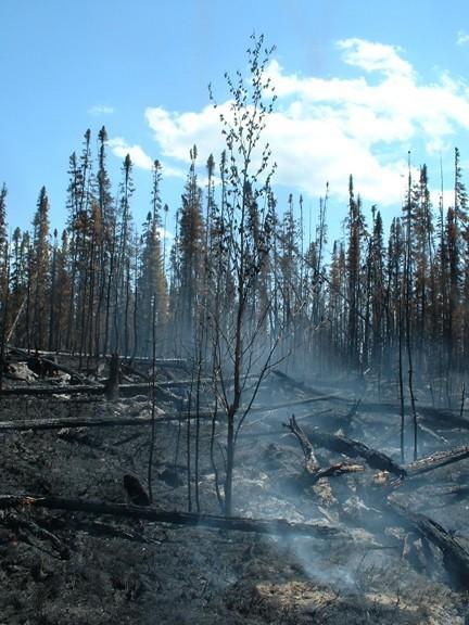 After a forest fire - Après un feu de forêt