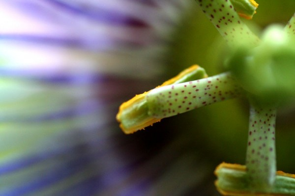 Passiflora's stamen - Étamine de Passiflore