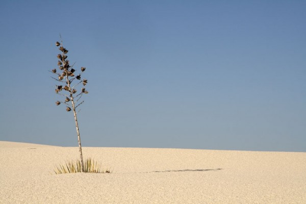 Yucca in the desert