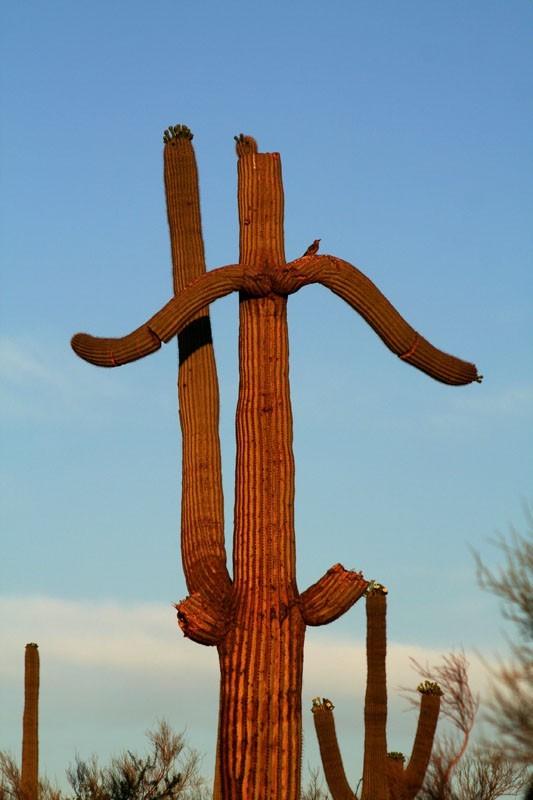 Gila woodpecker on Saguaro