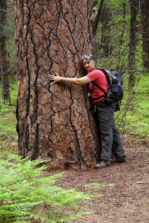 Hug a Ponderosa pine
