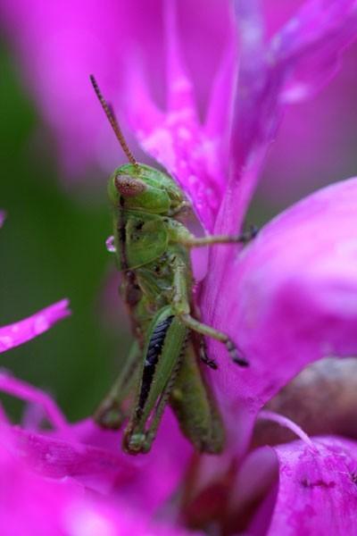 Grass-hopper - Sauterelle