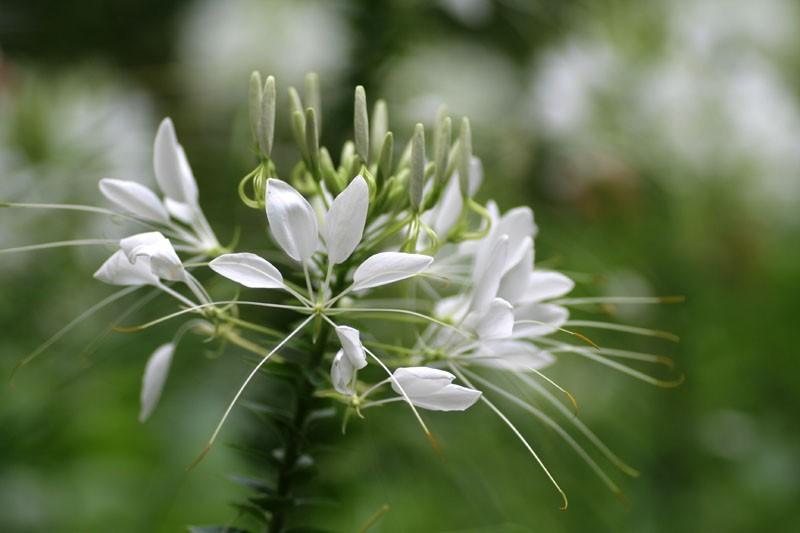 White cleome