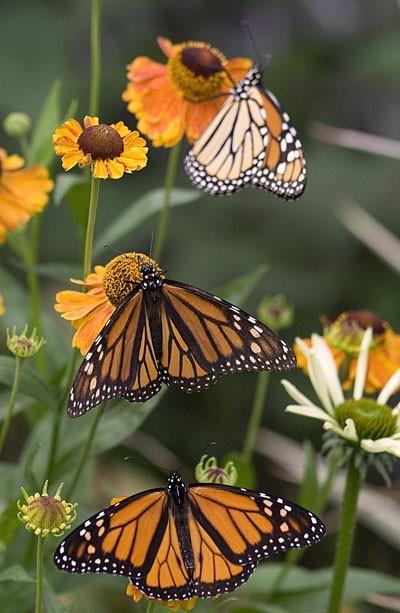 Monarchs's trio - Trio de Monarques