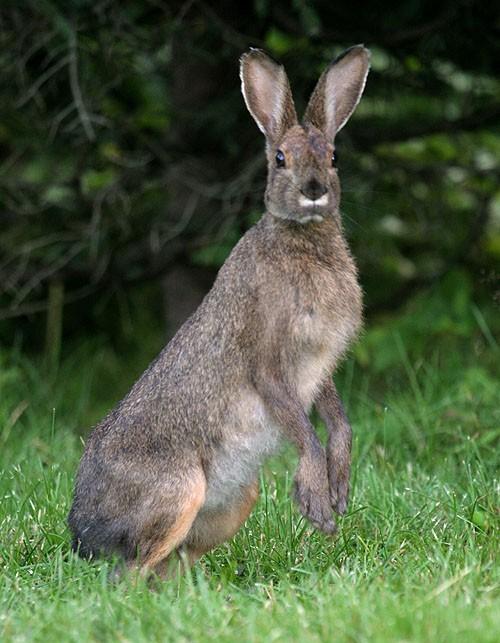 Hare - Lièvre