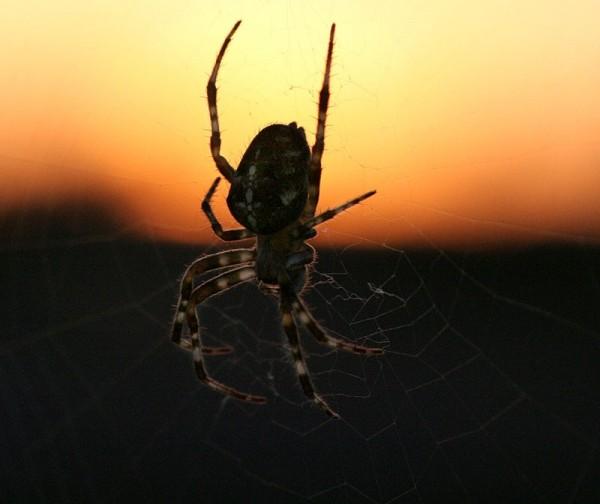 The spider - L'araignée