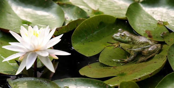 The frog and the water-lily