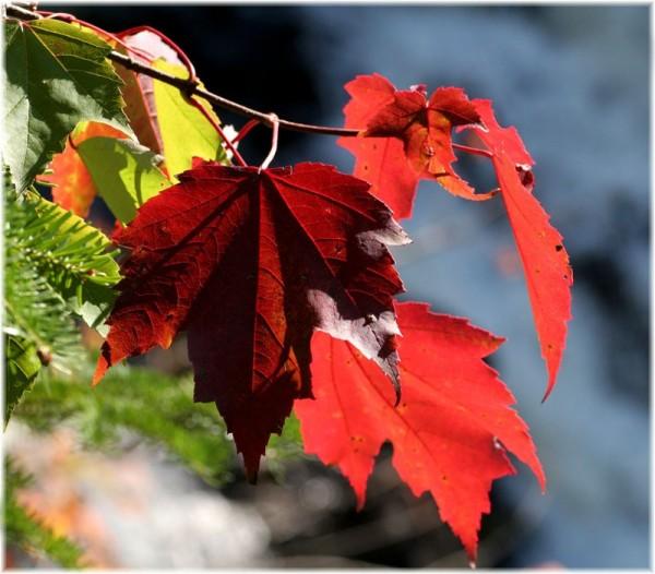 Red maple 2/3 - Érable rouge 2/3