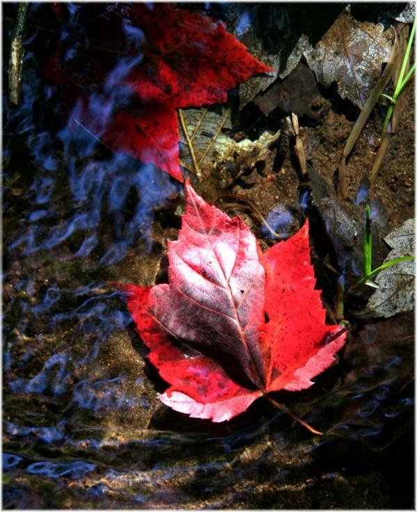 Red maple 3/3 - Érable rouge 3/3